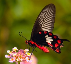 Common Rose Butterfly