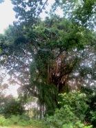 Malayan Banyan